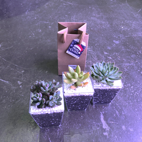 Mini Succulents in Square Pot