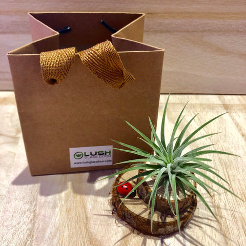 Cute Airplant with Lady Bug on Wooden Stumps