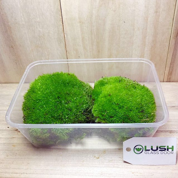 Holland Moss available at Lush Glass Door