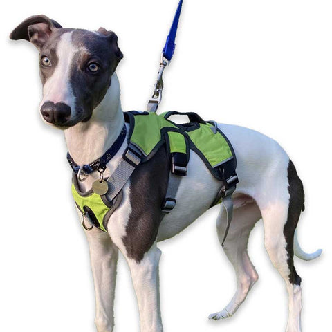 5 month old whippet puppy wearing our escape proof green sighthound harness