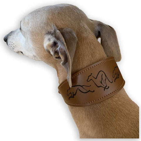Joey our whippet wearing the tan leather, embossed, padded sighthound collar.