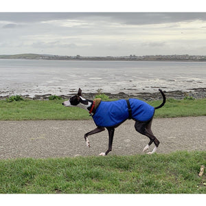 Zeus the whippet in one of our whippet coats. Royal bue