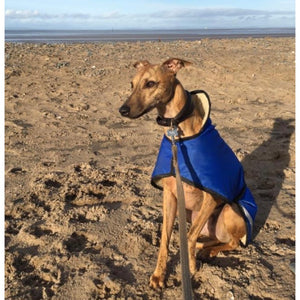 Archie the whippet on the beach in his waterproof, fleece lined whippet coat by drydogs