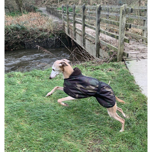 Whippet leaping and jumping wearing a DryDogs whippet coat