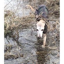 Load image into Gallery viewer, Whippet in a coat walking through a river in the undergrowth
