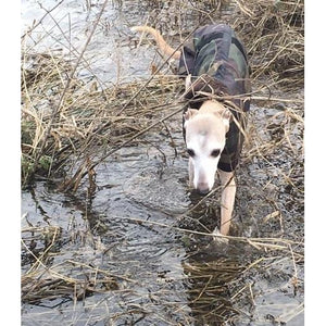 Whippet in a coat walking through a river in the undergrowth