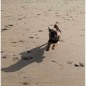 Dog on beach running with a drydogs.co.uk underbelly dog coat with chest protection