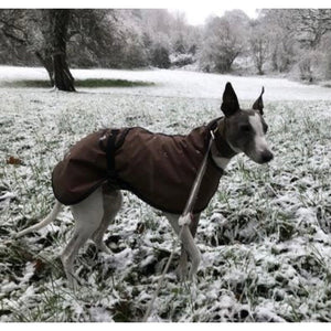Smudgie wearing winter snow whippet coat in wax no velcro