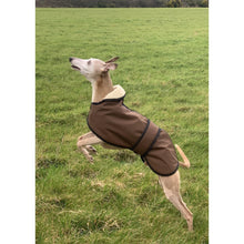 Load image into Gallery viewer, jumping whippet joey on his walkies whippet winter wear uk