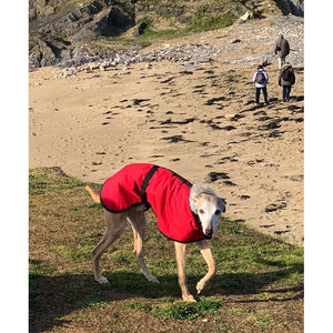 whippet coat on the beach. joey our favourite whippet model