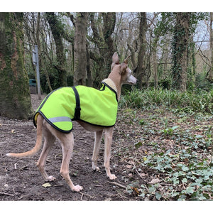A trendy whippet in his reflective coat ready for a walk in the woods