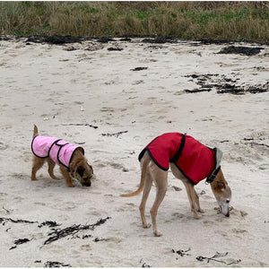 joey the whippet in his whippet jacket and harley the border terrier in her pink dog coat