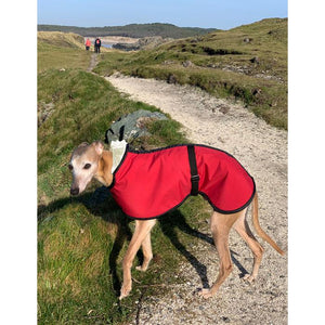 red whippet coat on joey. sunny day at the beach with one lovely warm whippet