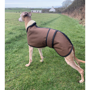 whippet posing in a waxed whippet coat by kellings dog coats uk