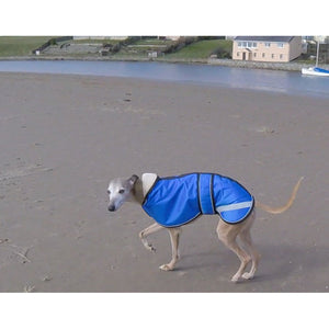 joey in his royal blue whippet coats for winter