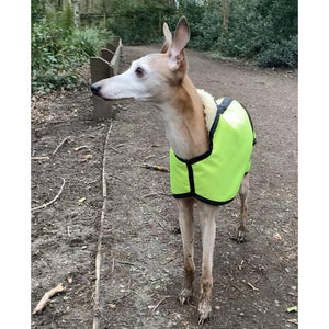 Reflective whippet coat in the woods. Joey with his ears up looking for squirrels