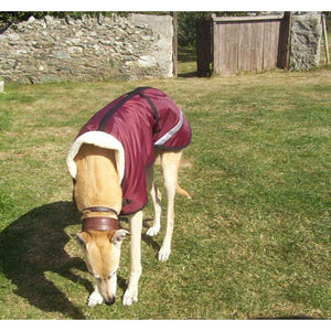 greyhound wearing a wine coloured waterproof fleece lined dog coat stylish