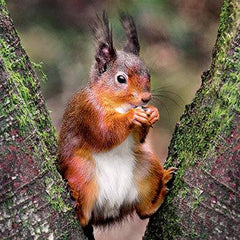 Wildlife Trust Red Squirrel Greeting Card