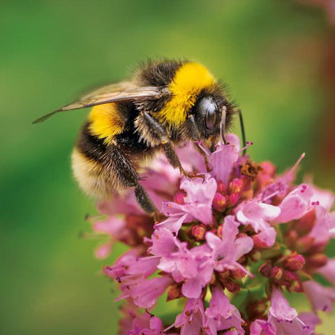 Wildlife Trust Buff-Tailed Bee Greeting Card