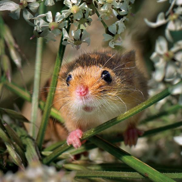 Wild life Trust Harvest Mouse Greeting card
