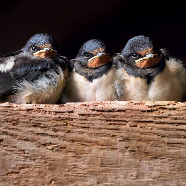 Wildlife Trust Three Swallow Chicks Greeting Card