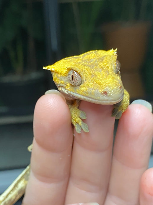 Crested Gecko Amazon Supply List