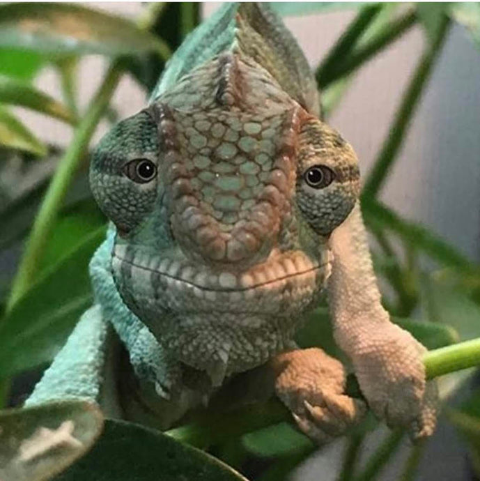 Panther Chameleon Amazon Supply List