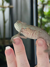 Load image into Gallery viewer, *MALE* Ambilobe Baby- Gary x Wilma (Enclosure BB4)