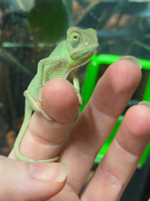 Load image into Gallery viewer, Veiled Chameleons