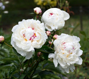 Peony White  One Bunch