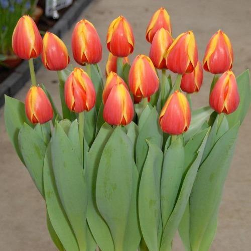 Tulip Ed Rem One Bunch