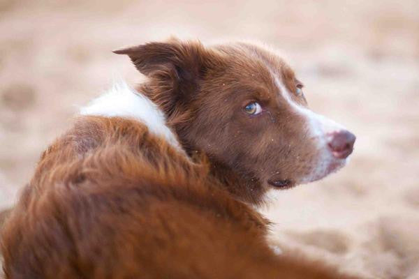 Dog Eye Infections Home Remedy, Causes & More | Dr  Dobias