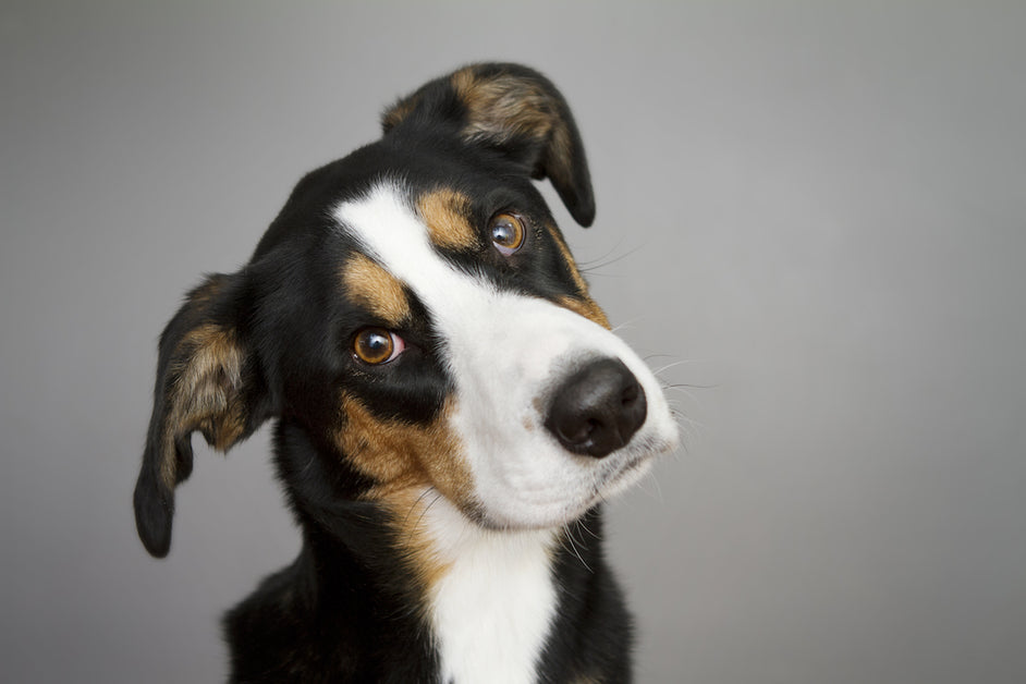 Vestibular Syndrome in Dogs: Natural Treatments for Old Dog