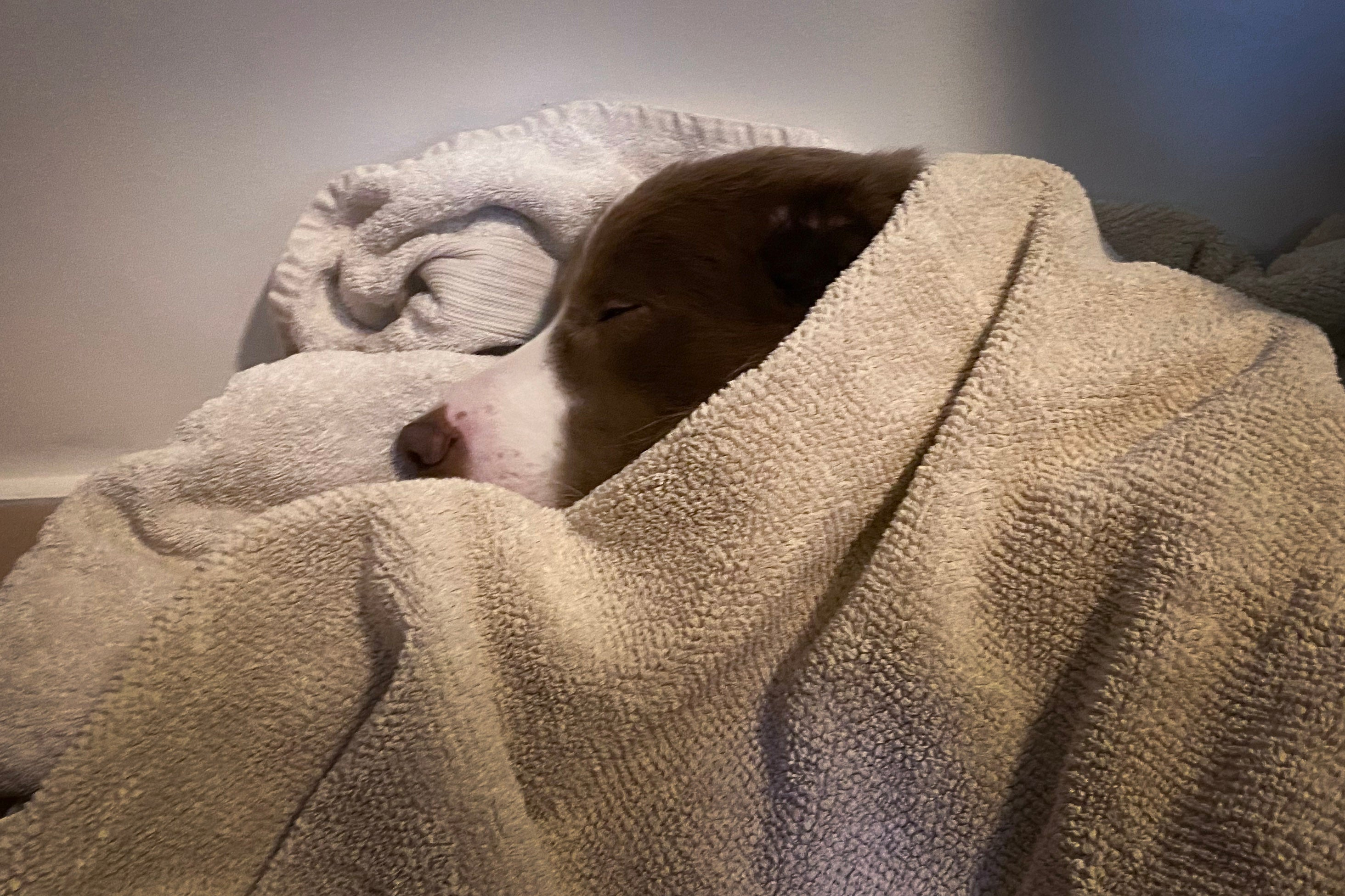 Pax the dog in recovery under blankets