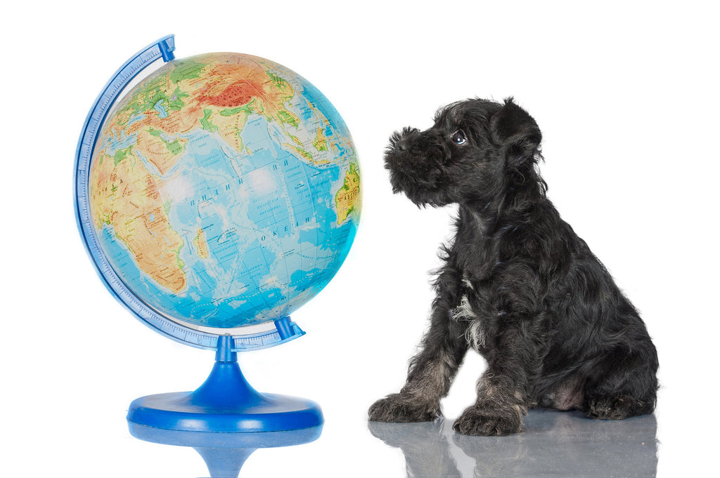 Black small dog sitting and looking at a globe of planet earth