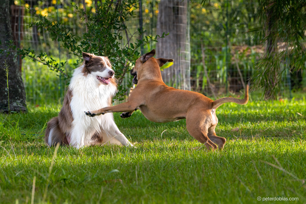 Border collie Pax playing with his doggy friend on a grassy field