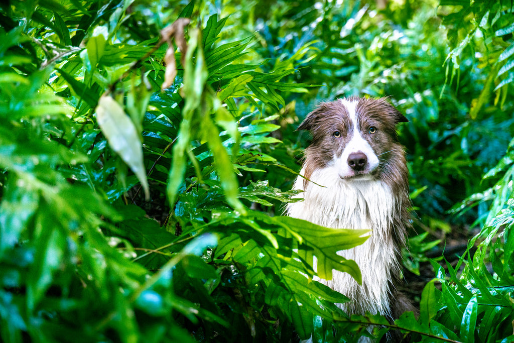 Dr. Dobias' border collie dog Pax out in nature