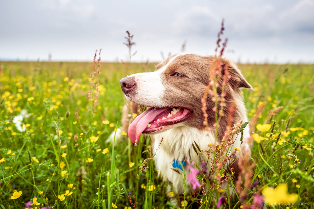 Border collie Pax laying in a meadow smiling