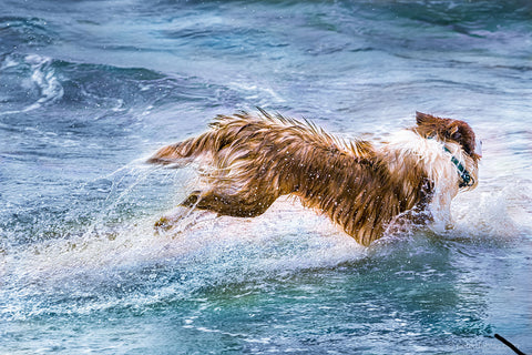 Pax the dog running in the ocean