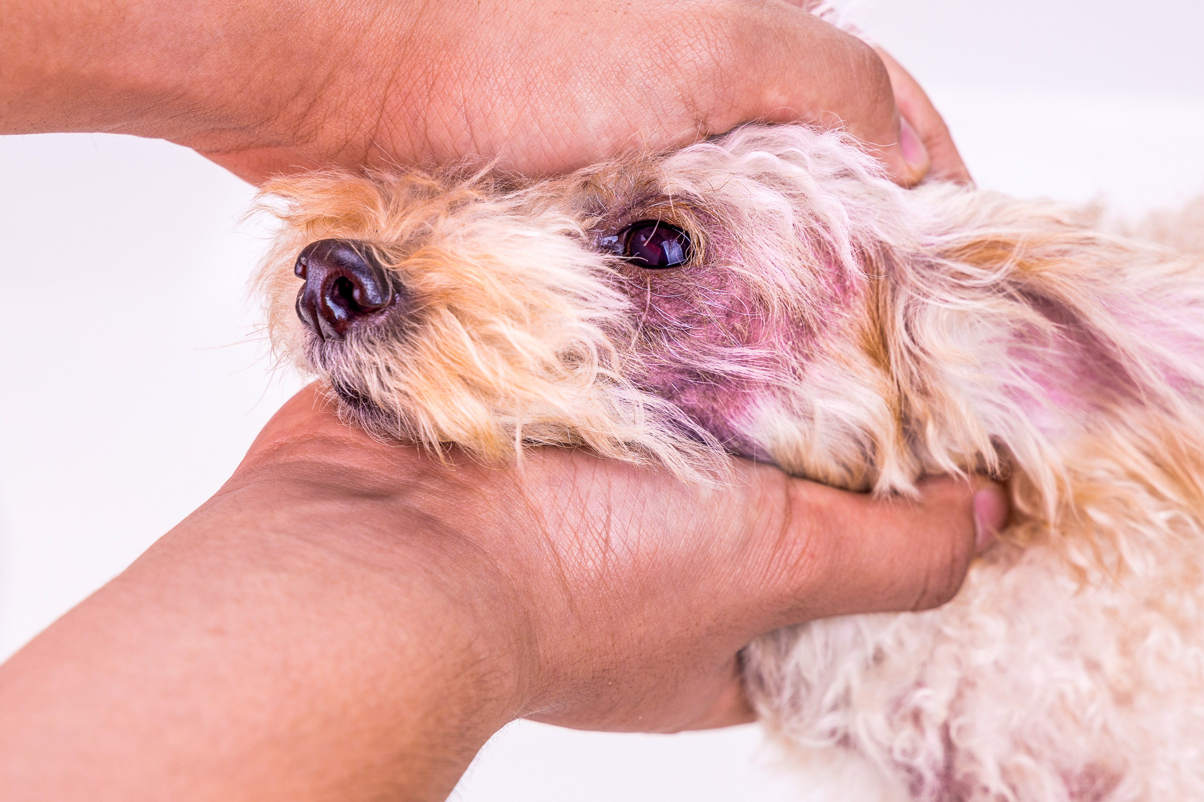 a dog with a skin yeast infection around their eye