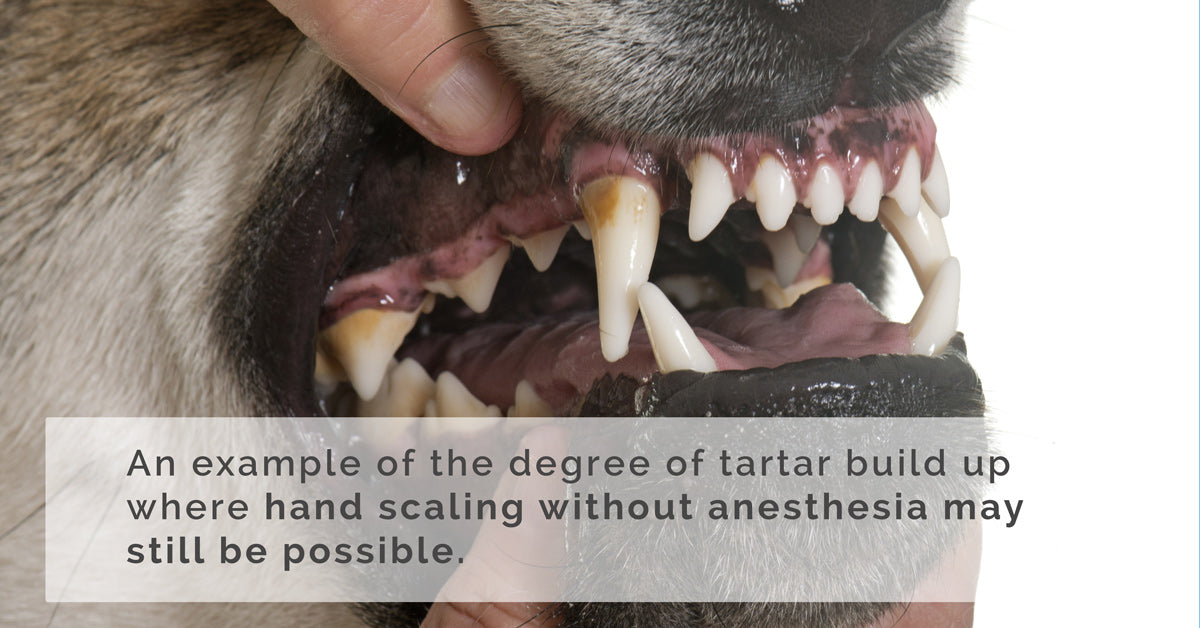 tartar build up on dogs where scaling may be possible