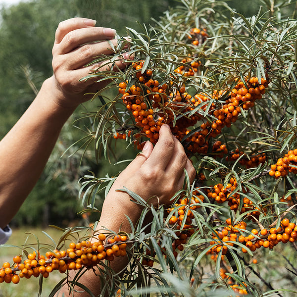 Talk of the town: Seabuckthorn Fruit Pulp Oil