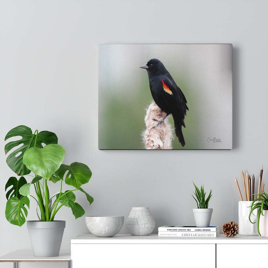 Red-winged Blackbird on a Cattail Print on Canvas - www.thedesigntank.com