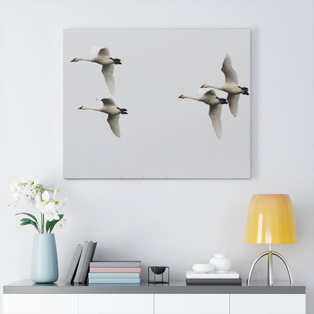 Trumpeter Swans Print on Canvas - Design Tank