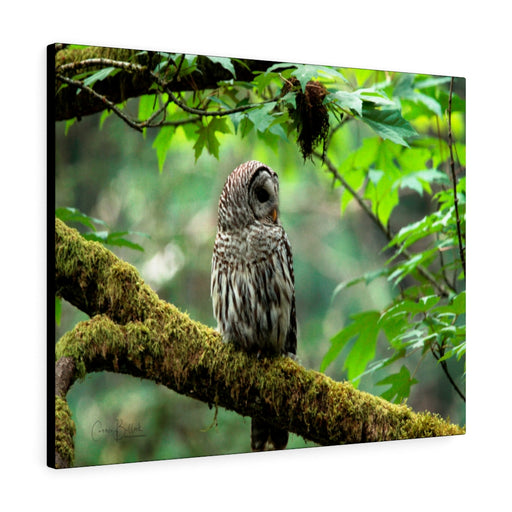 Barred Owl Print on Canvas - www.thedesigntank.com