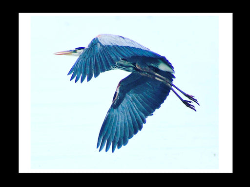 Blue Heron in Flight Print on Fine Art Paper - www.thedesigntank.com