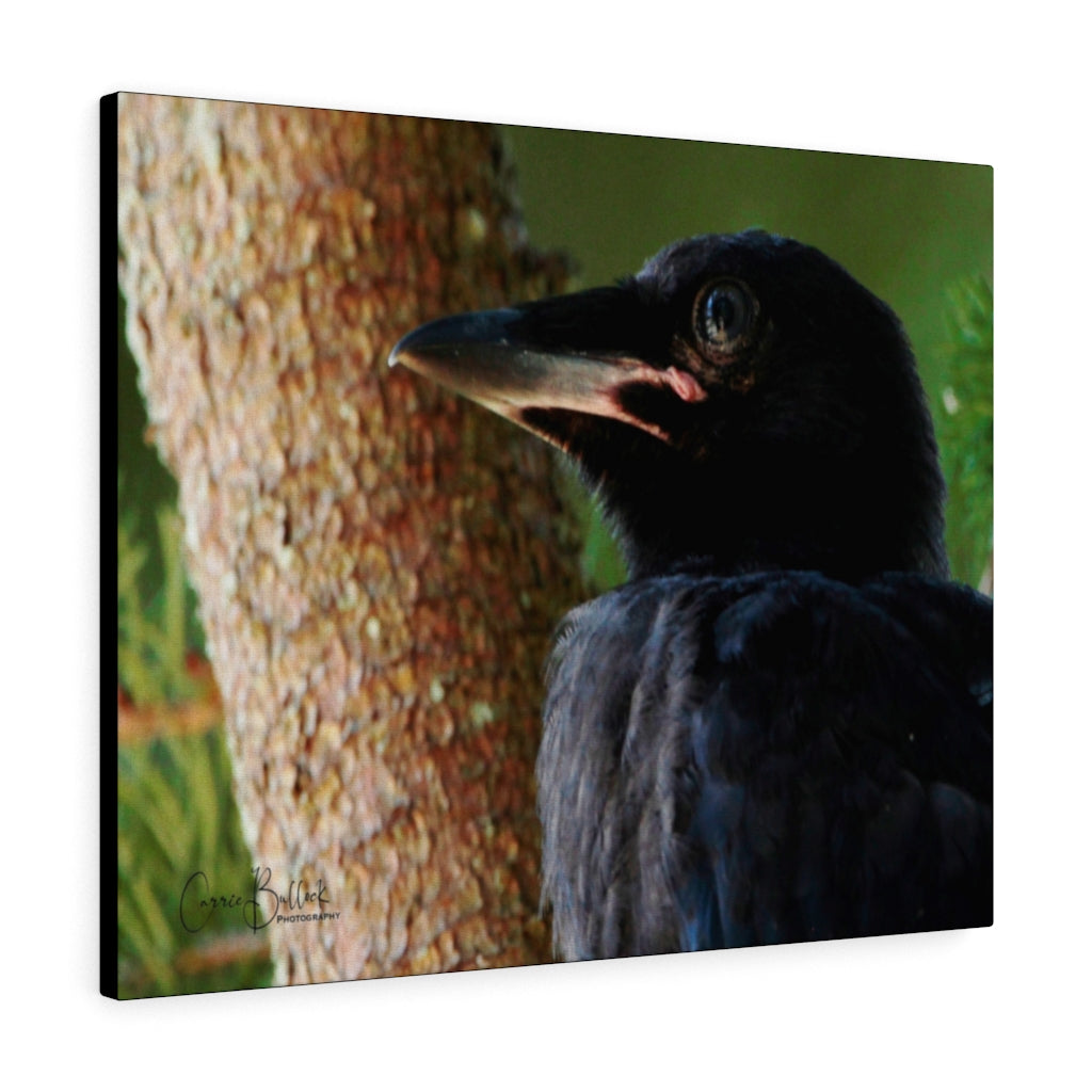 Baby American Crow Print on Canvas by Carrie Bullock - www.thedesigntank.com
