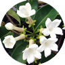 stephanotis