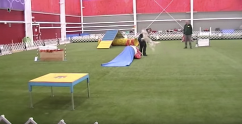 Husky Goes From Dog Show to Zoomies in .2 Seconds!