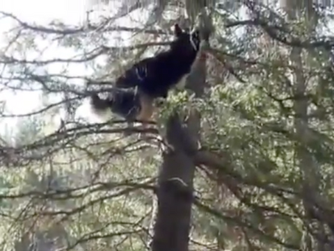 Crazy Husky Chases Squirrel 100ft+ Up a Tree! [Unbelievable Video]
